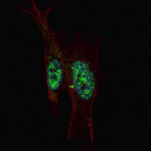 Anti-STAT3 Rabbit Polyclonal Antibody (FITC (Fluorescein Isothiocyanate))