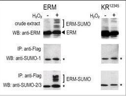 Anti-SUMO1 Rabbit Polyclonal Antibody (AP (Alkaline Phosphatase))
