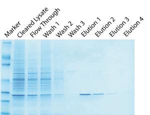 Affinity purification resins, Glutathione Resin
