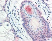 Immunohistochemical staining of paraffin embedded human skin tissue using DHRS7 antibody (primary antibody at 1:200)